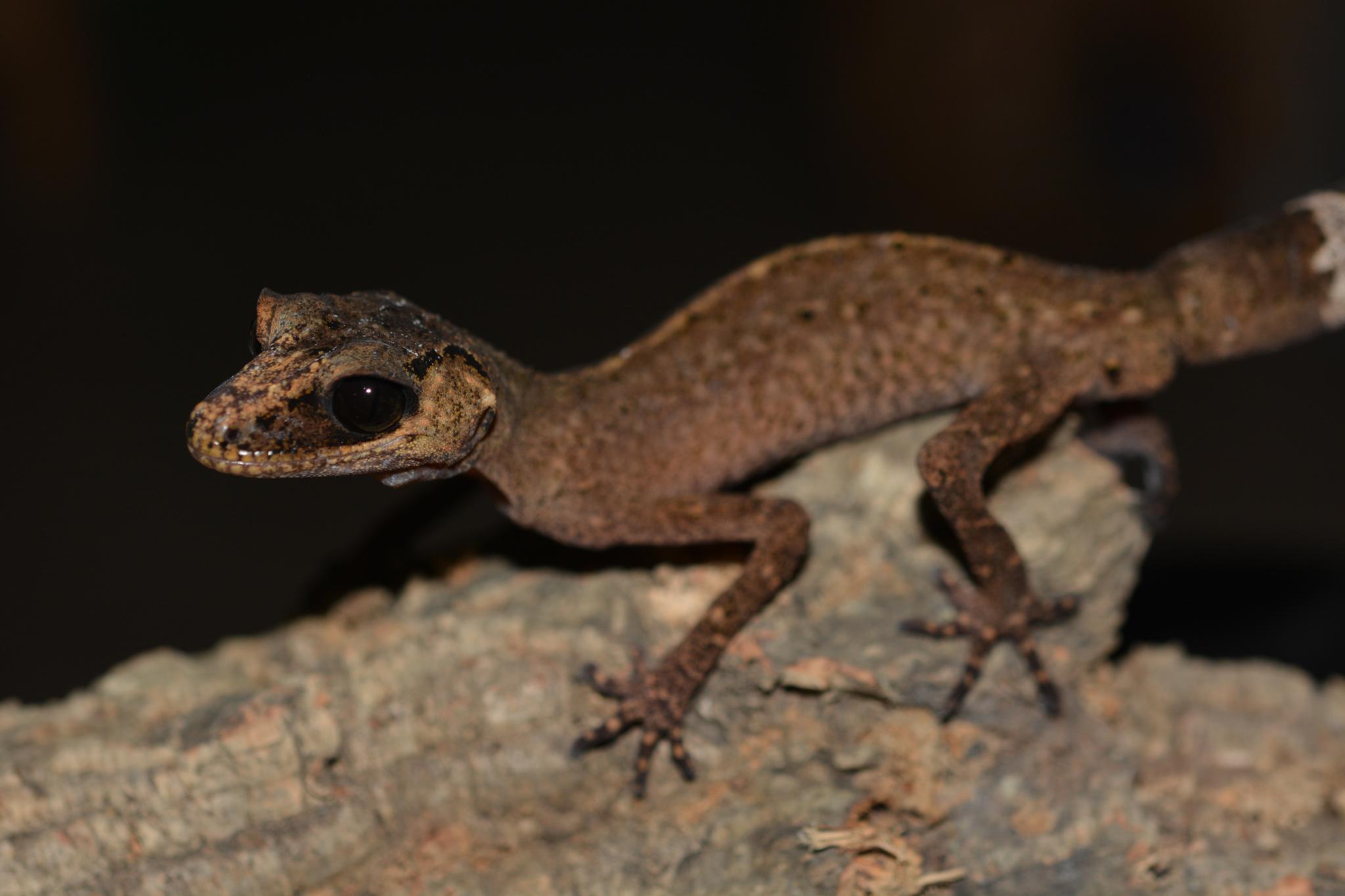 carphodactylus_laevis_male02.jpg