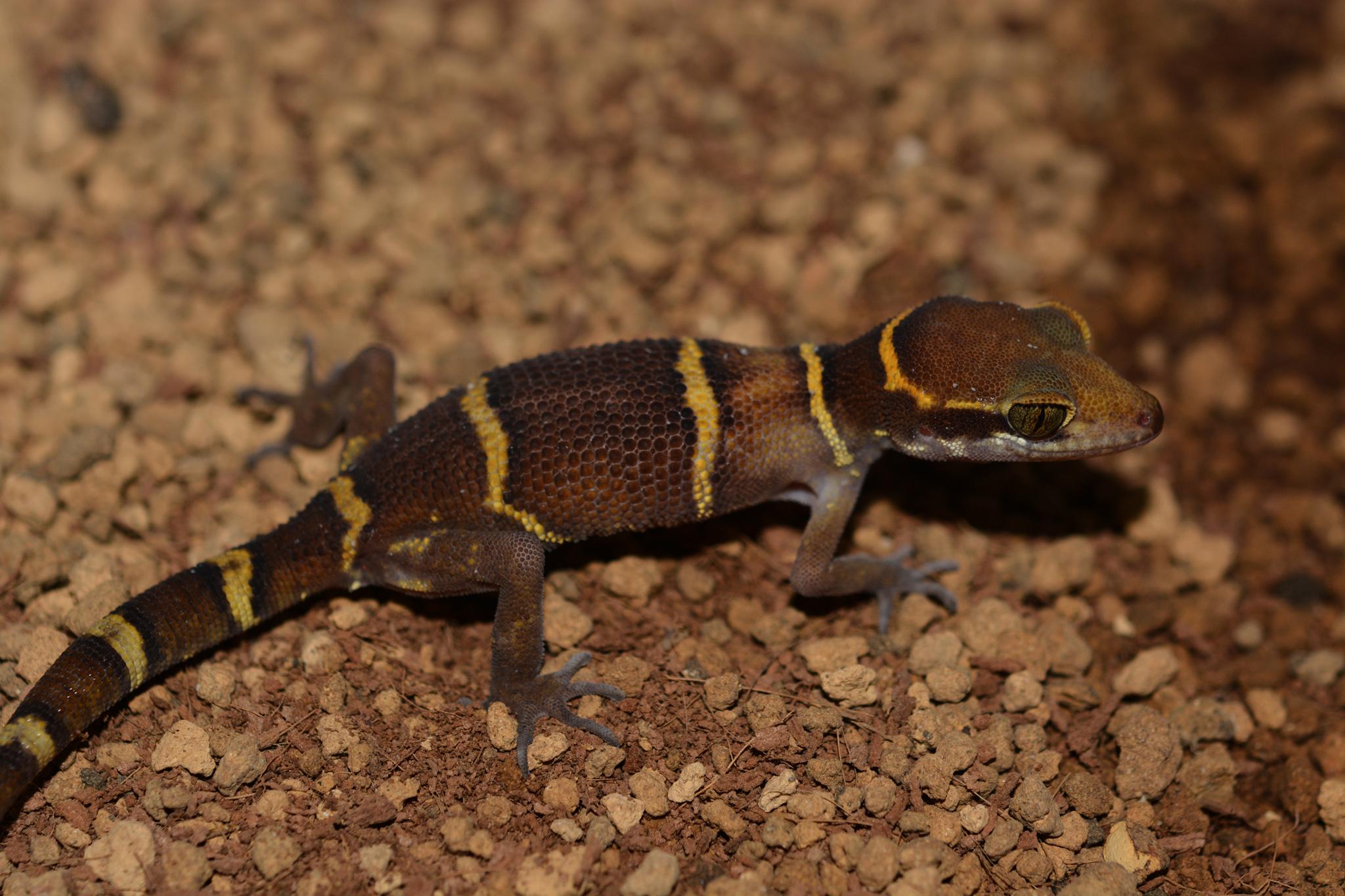 geckoella_deccanensis_female01.jpg