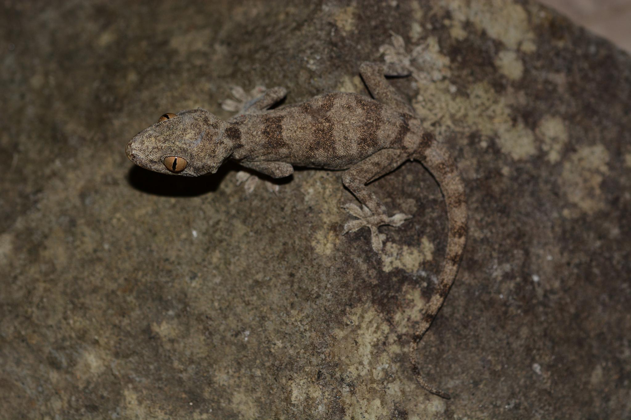 hemidactylus_lemurinus_01.jpg