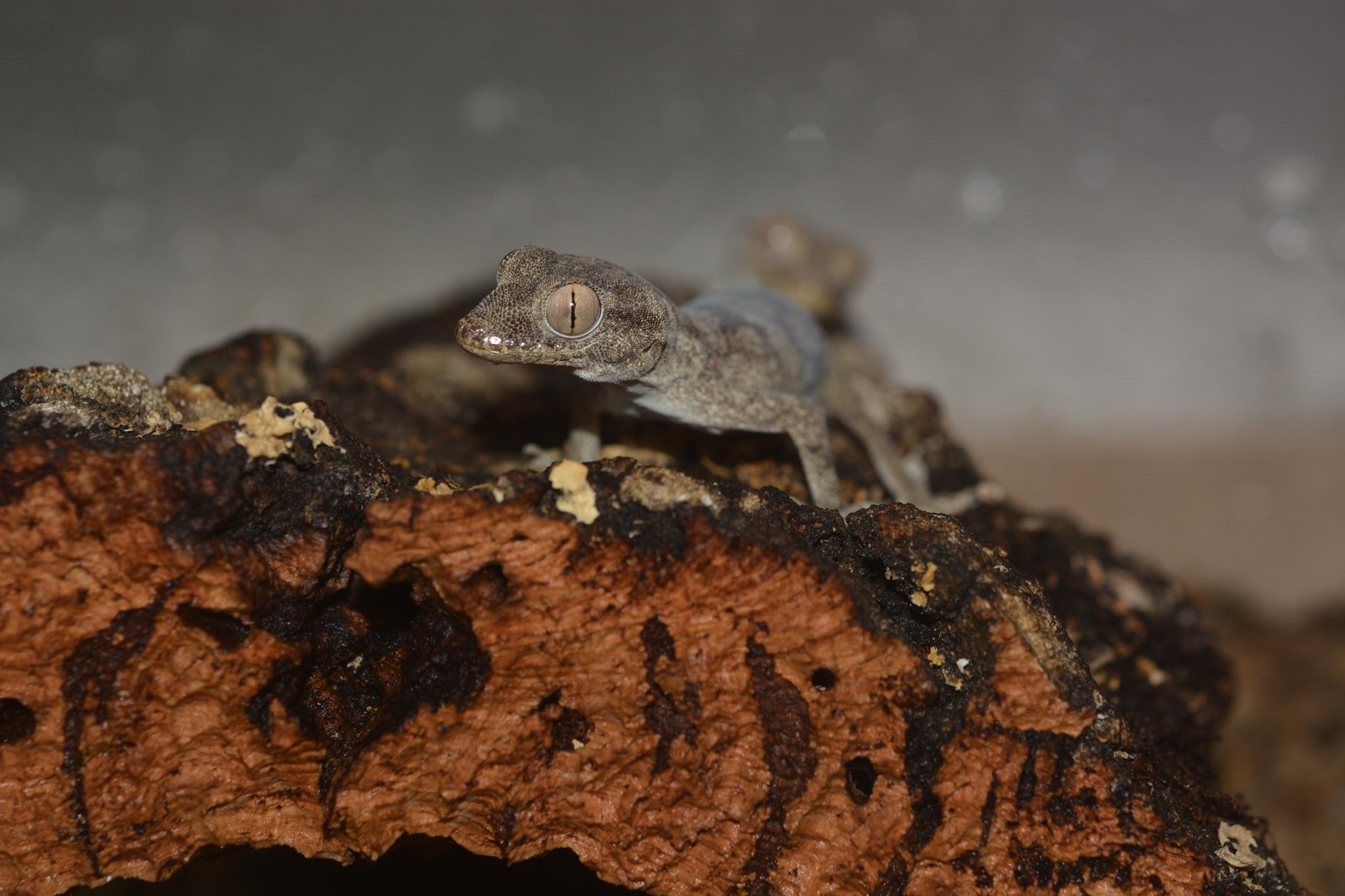hemidactylus_lemurinus_02.jpg