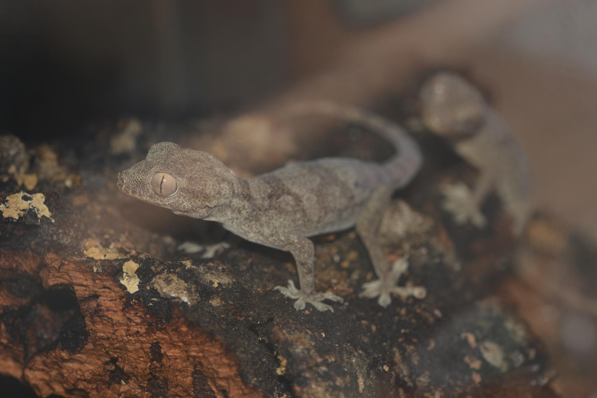 hemidactylus_lemurinus_03.jpg