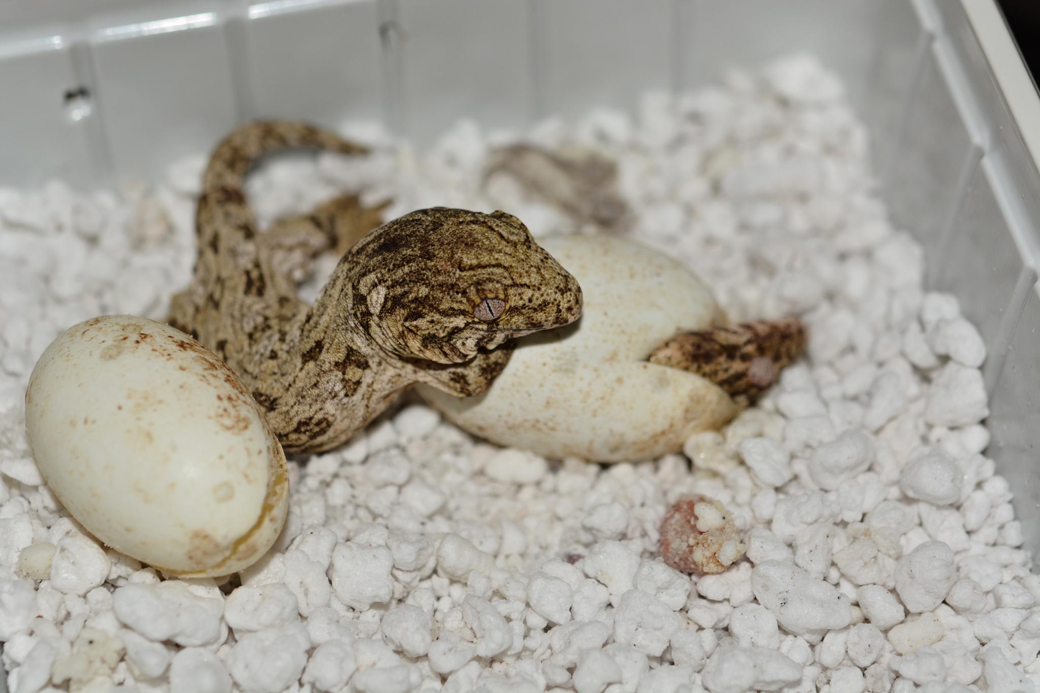 rhacodactylus_leachianus_baby03.jpg