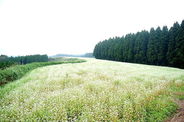 波野村の白い絨毯700万本の蕎麦の花