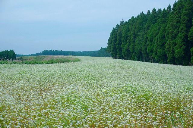 700万本の蕎麦のお花畑再び