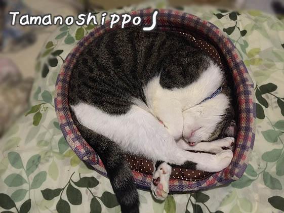 猫ベットで丸くなって寝るちびニャン(猫鍋風)