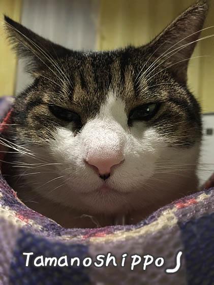 不機嫌な猫(ちび)