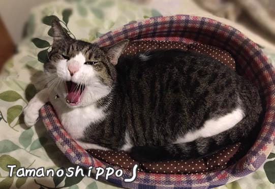 あくびをする猫(ちび)