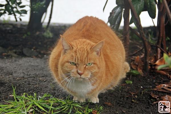 デブ猫 野良猫さん