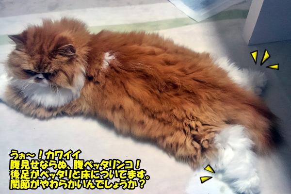 ペルシャ猫 ルナくん
