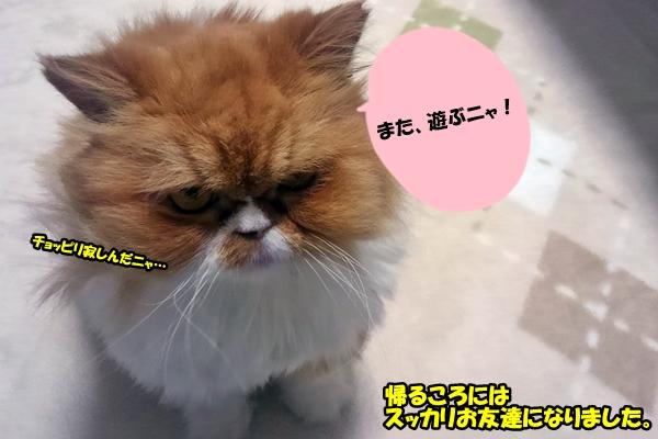 ペルシャ猫 ルナ君