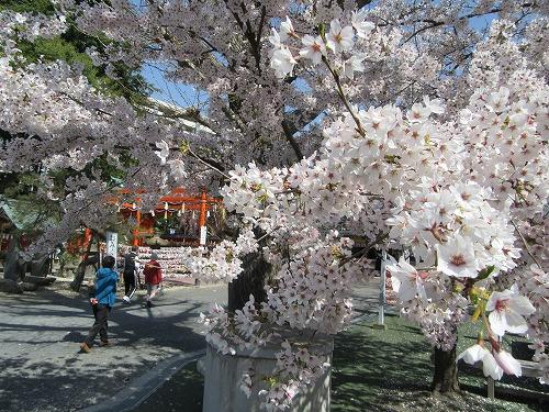 1604sakura2010.jpg