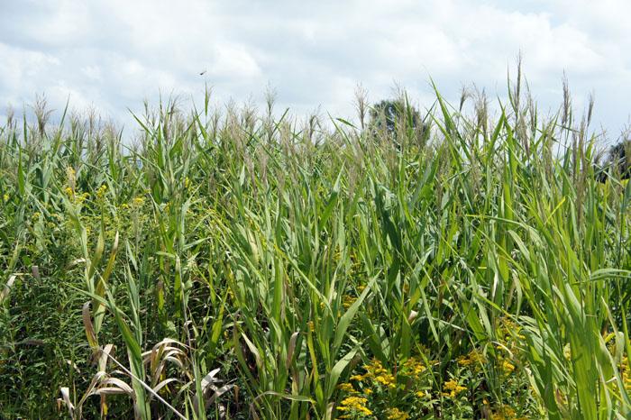 ヨシ(葦)とススキ(薄) - 野に草