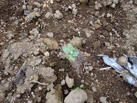 芽キャベツ復活