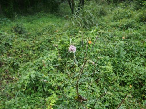 20150926・浅間山植物11・アメリカアザミ