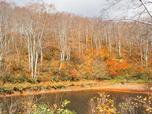 20151025・松之山2-04・ブナがきれい