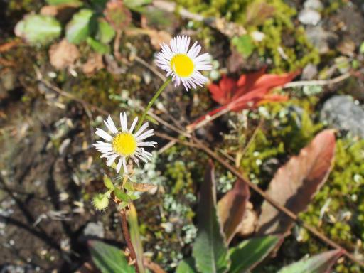 20151025・松之山植物05・ヒメジョオン