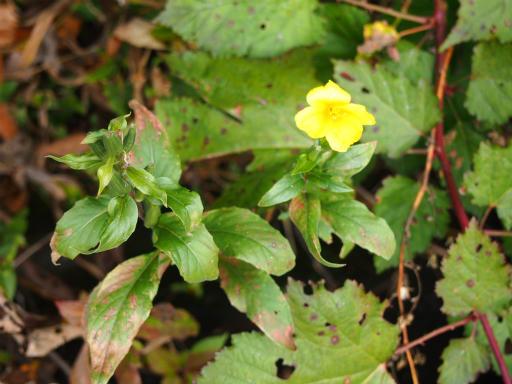 20151025・松之山植物03・オオマツヨイグサ