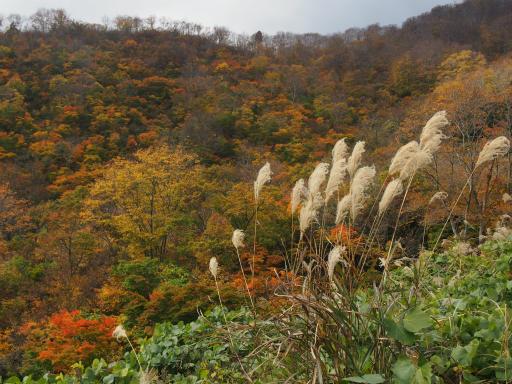 20151025・松之山植物02・ススキ