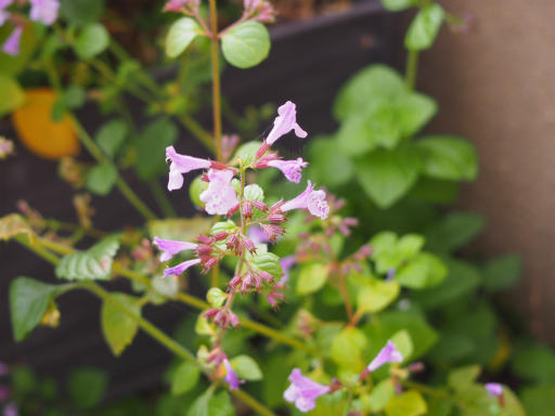 20151025・松之山植物08・チョロギ