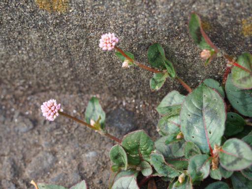 20151107・えこねこ植物1・ヒメツルソバ