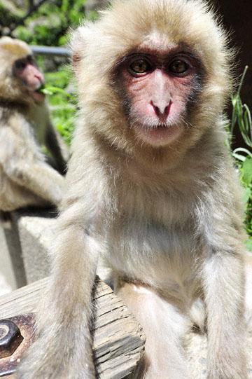 blog 2 Jigokudani, Babysitting, Nagano_DSC4480-6.29.15.(1).jpg